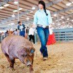 livestock-show